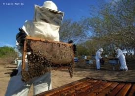 023327 site abr 15555 Apicultura coleta do mel Jacarau PB Foto Cacio Murilo