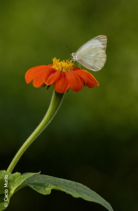 028109 Borboleta na flor Foto Cacio Murilo NATUREZA