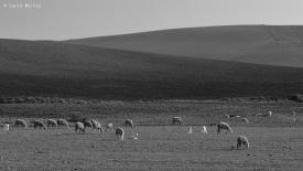 _CMV8052-Site-marrocos-P&B-ovelhas